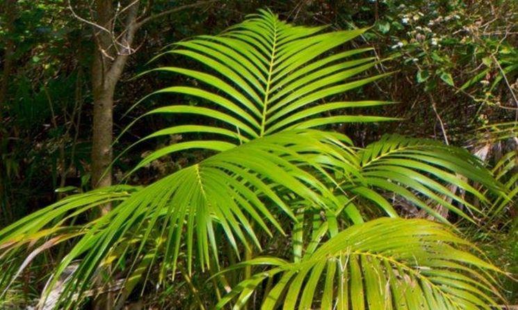 Kentia : particolare delle foglie
