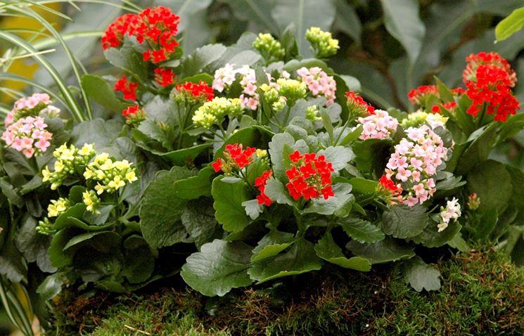 Kalanchoe fiore