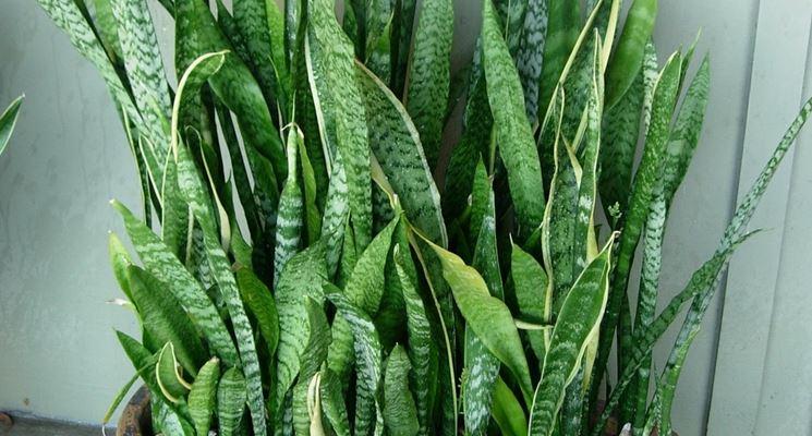 Sansevieria foglie