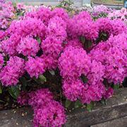 Azalee in fiore