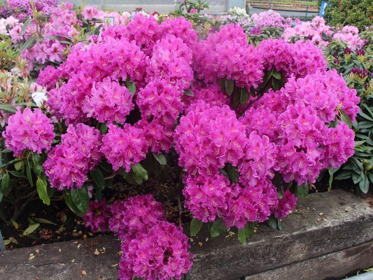 Le azalee piante appartamento come curare le azalee - Azalee da esterno ...
