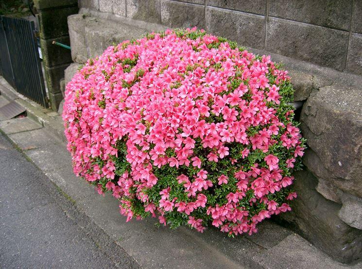 Azalee decorative