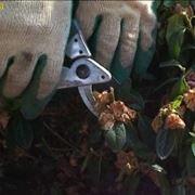 azalea potatura