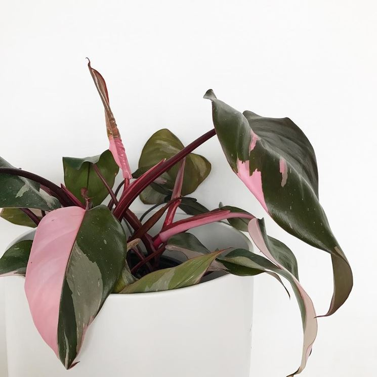 "Philodendron erubescens ""Pink Princess"""