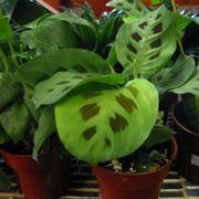Dracena marginata dracaena marginata piante for Maranta pianta