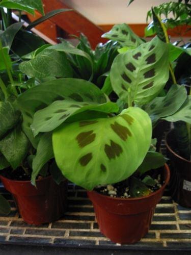 Un esempio di pianta di Maranta da appartamento tenuta in un vaso
