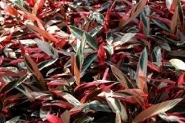 Un esempio di fiore che troviamo sulle piante di Maranta.