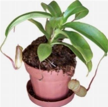 Un esempio di pianta di Nepenthes da appartamento tenuta in un vaso