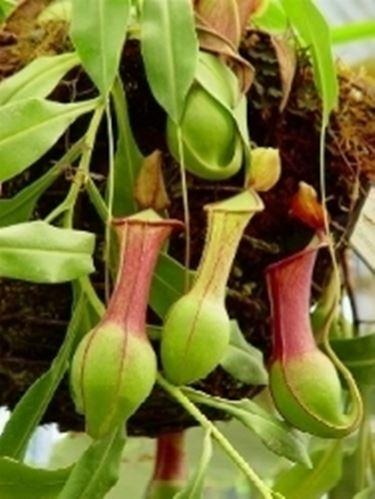 Un esempio di fiore che troviamo sulle piante di Nepenthes.
