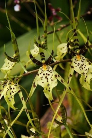 Un esempio di orchidea brassia