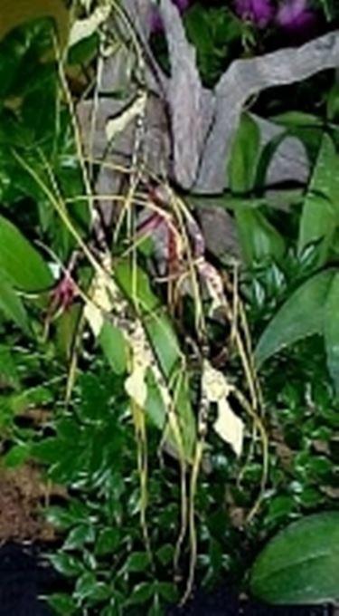 Un tipico esempio di orchidea brassia