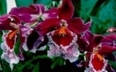 Un tipico esempio di orchidea cambria