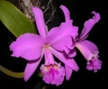 Un tipico esempio di orchidea cattlkeya