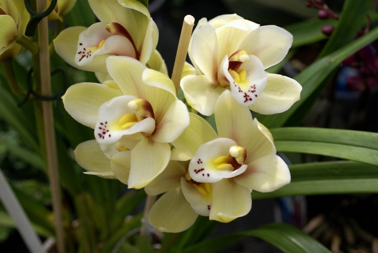 Orchidea cattlkeya piante appartamento for Orchidea foglie gialle