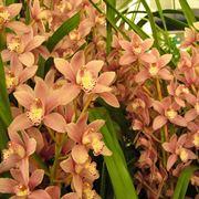 orchidea cymbidium prezzi