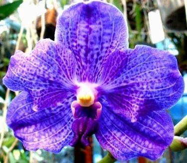 Un tipico fiore di orchidea vanda
