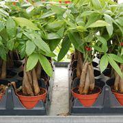 Un esempio di pianta di Pachira da appartamento tenuta in un vaso