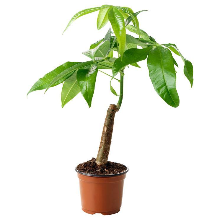 pachira pianta