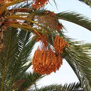 Esempio di palma da dattero provvista di frutti.