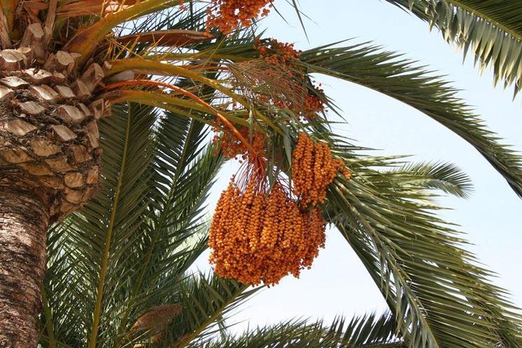 Esempio di <strong>palma da dattero</strong> provvista di frutti.
