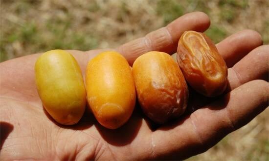 Palma da dattero piante appartamento coltivare palme for Pianta palma