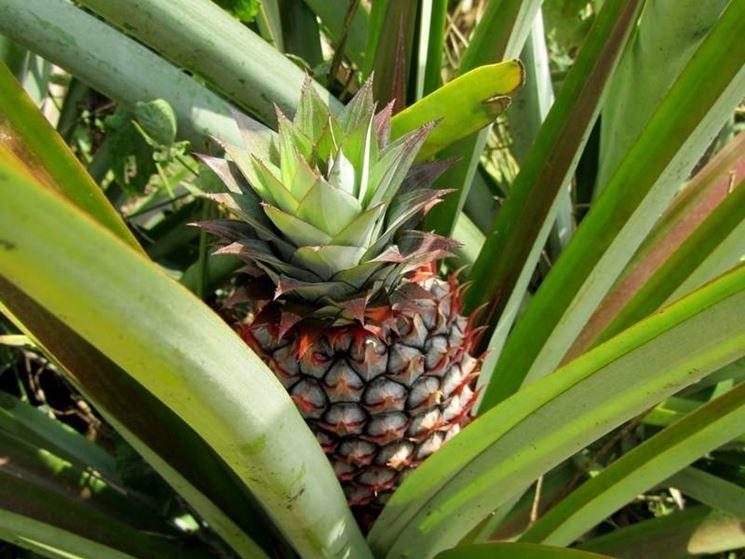 pianta e frutto di ananas