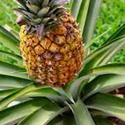 piante di ananas