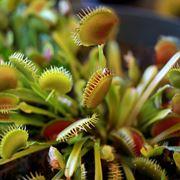 Bellissimo esemplare di pianta carnivora.