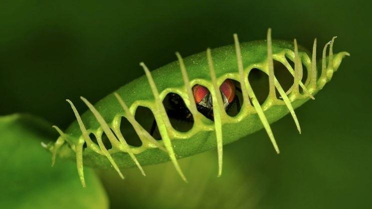 pianta carnivora trappola a scatto