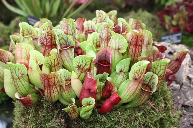 pianta carnivora Trappola a nassa
