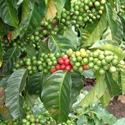 Frutti pianta caffè