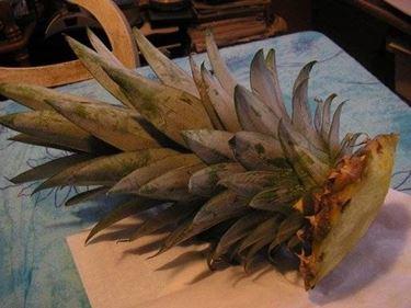 Ciuffo di ananas per coltivazione
