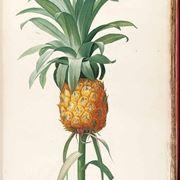 albero di ananas