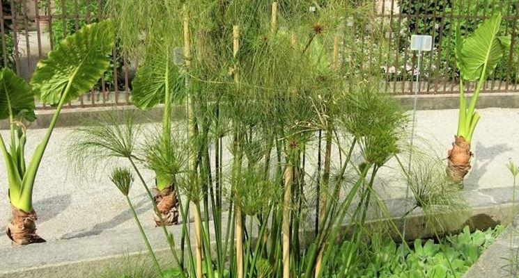 Papiro in giardino