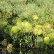papiro pianta