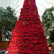 Stella di natale: simbolo delle festività natalizie