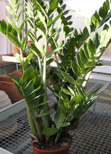 Pianta zamioculcas piante appartamento caratteristiche for Zamioculcas cura