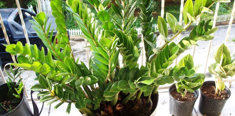 <h6>Pianta zamioculcas</h6>La pianta zamioculcas � quella che in assoluto richiede la minore cura: � ideale per coloro che non hanno il