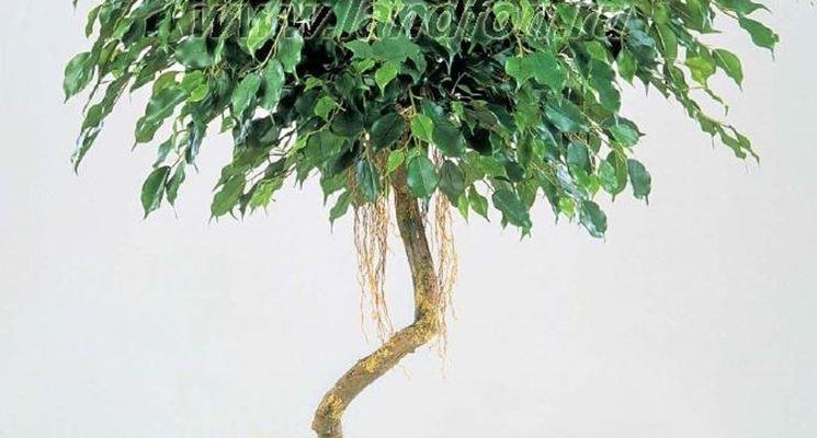 Ficus Benjiamina