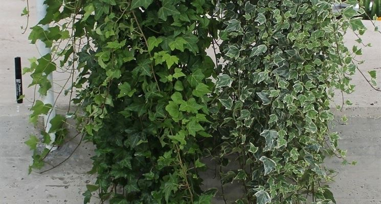 Esempio di edera da appartamento