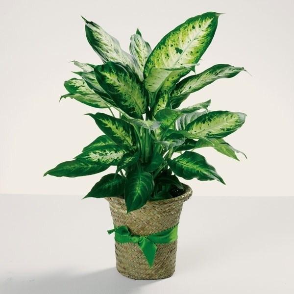 Piante da appartamento resistenti piante appartamento for Piante di case