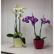 Tipologia orchidea appartamento