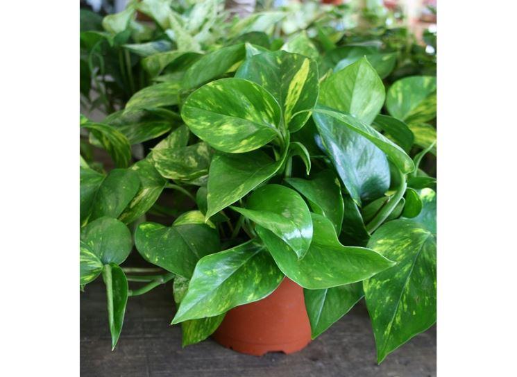 Piante da appartamento piante appartamento tipologie for Piante sempreverdi da appartamento