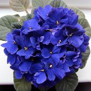 Piante da fiore da appartamento: la violetta africana