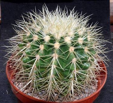 Esemplare di Echinocactus