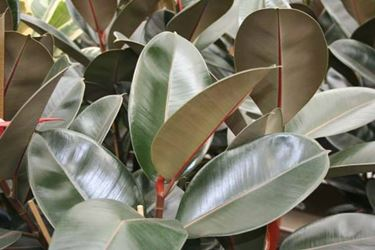 Le foglie ampie e carnose del ficus