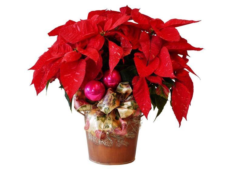 Una pianta natalizia di Poinsettia, detta anche stella di Natale