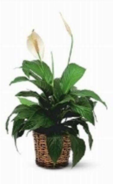 Di seguito notate una tipica pianta ornamentale