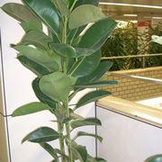 """Ficus elastica """"robusta"""""""