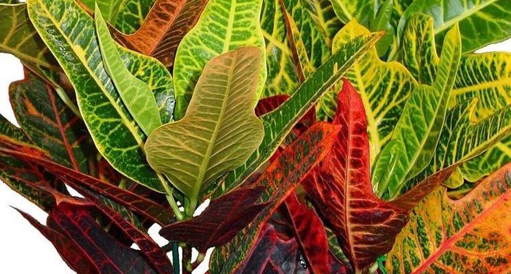 Splendide piante di Croton